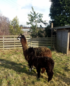 Nameless Alpacas Arrive at New Garden Centre Fun Zone!!!!!!