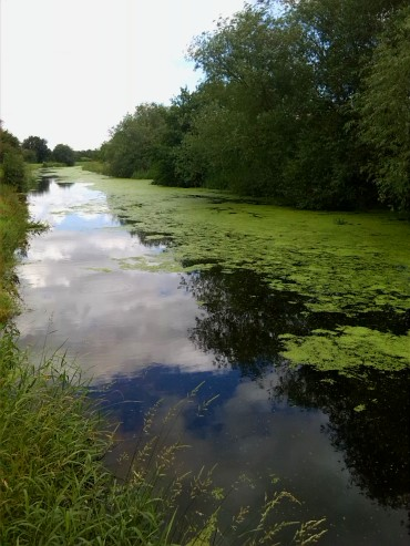 Duckweed -  An unwelcome canal guest