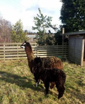 Nameless Alpacas Arrive at New Garden Centre Fun Zone!!!!!!