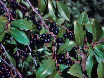 Cherry Laurel - Prunus laurocerasus. Seasonal dangerous plant warning.